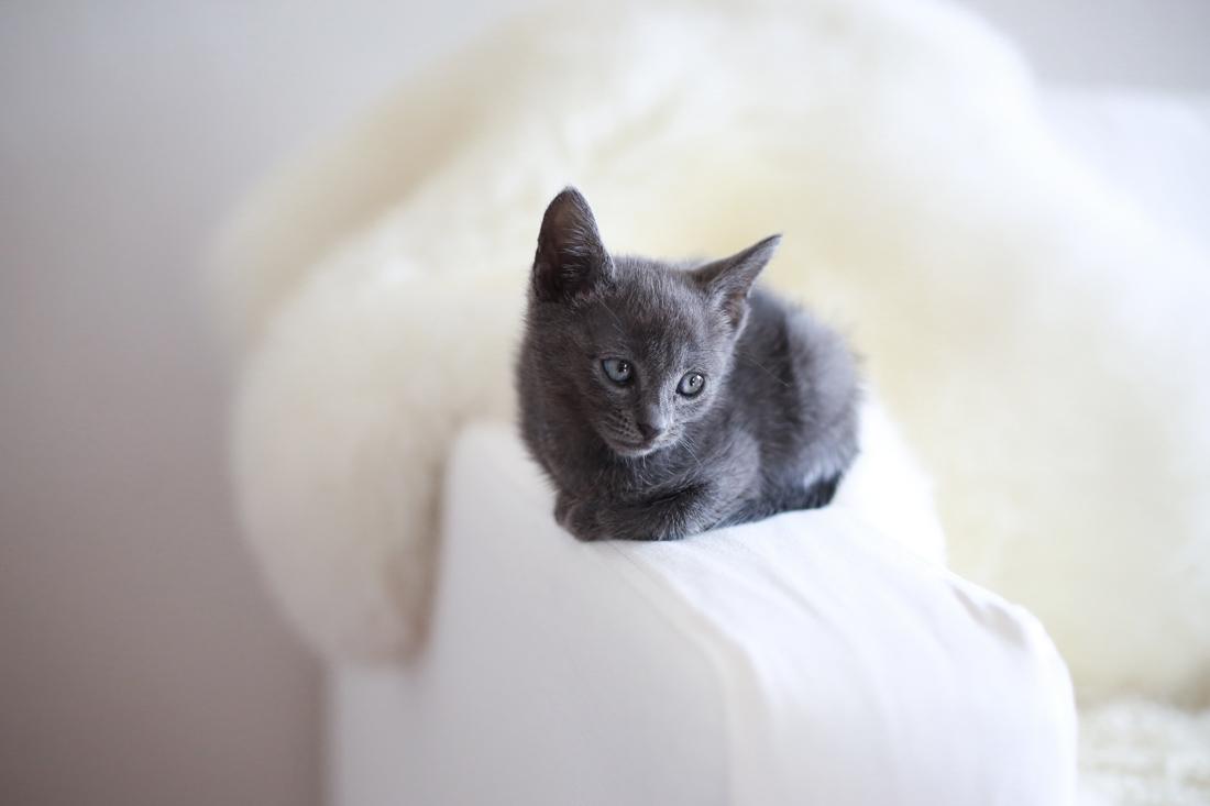blue russian kitten charlotte